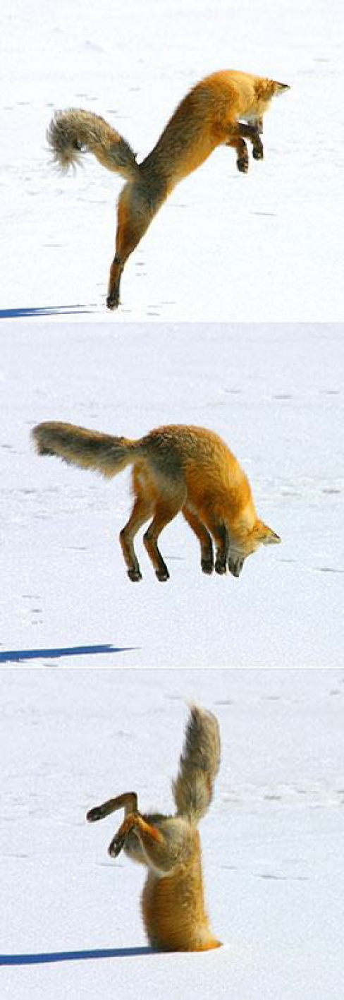 43048,1298976932,large Crazy Fox Jump to Snow Funny Picture 75727