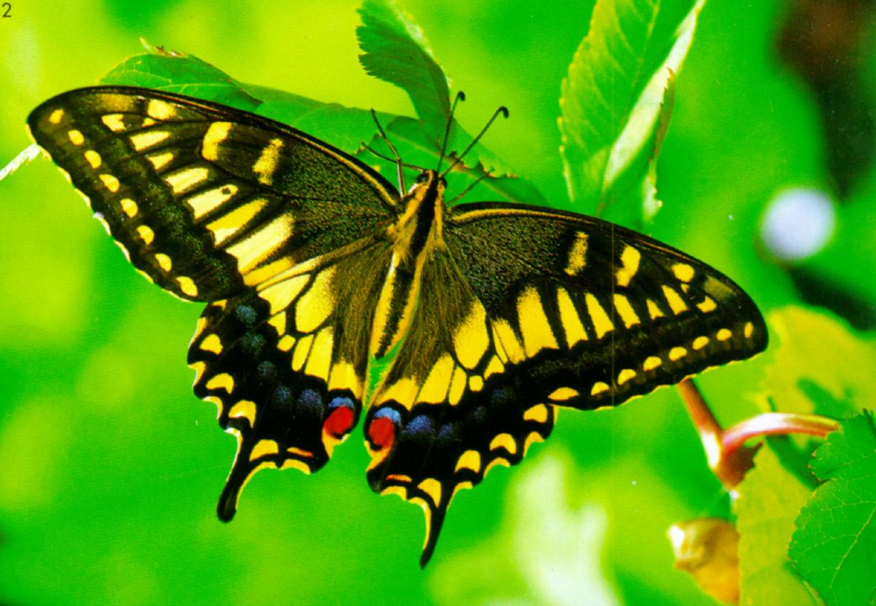 KoreanInsect-Common Swallowtail Butterfly J02-hanging leaves