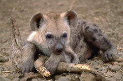 70749,1297794937,hyena brown