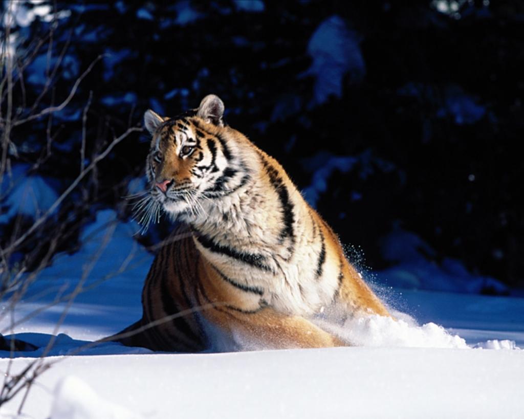 Desktop Hd Tiger Attack Pics: Die Schönsten Tiere/Tierbilder Der Welt (Seite 20