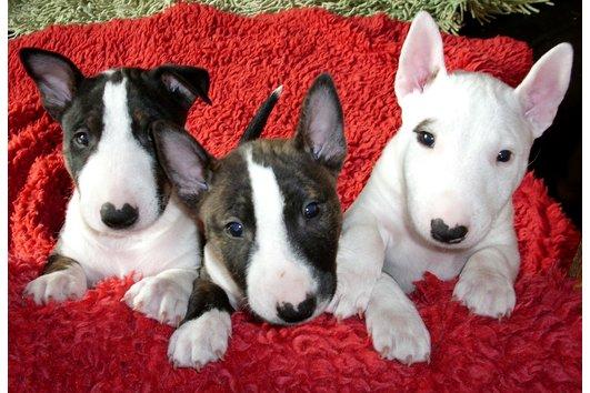 Kampfhund Welpen Kaufen