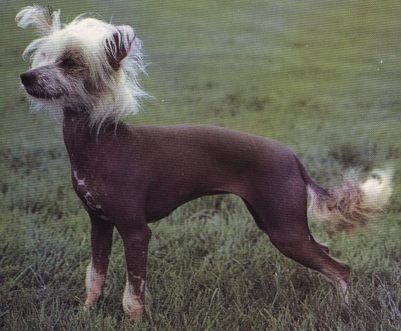 Chinesischer Nackthund
