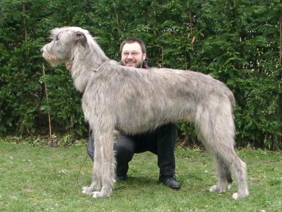 Pics Photos - Mastiff Irish Wolfhound Pictures Page 14