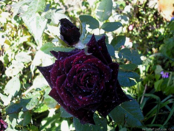 einzigartige schwarze rosen in halfeti seite 2 allmystery. Black Bedroom Furniture Sets. Home Design Ideas
