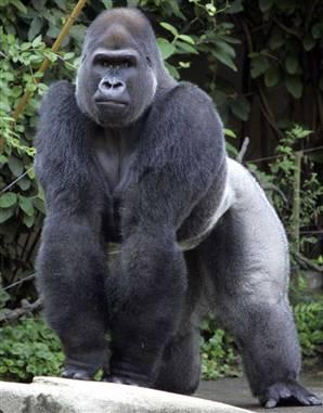 Gorilla f ngt an aufrecht zu laufen evolution seite 2 - Dessin d un gorille ...