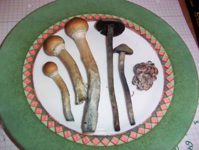 three-kinds-magic-mushrooms