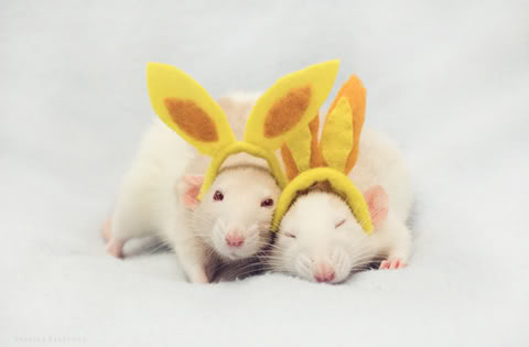 uh43048,1266176792,Cutest-Rats-2
