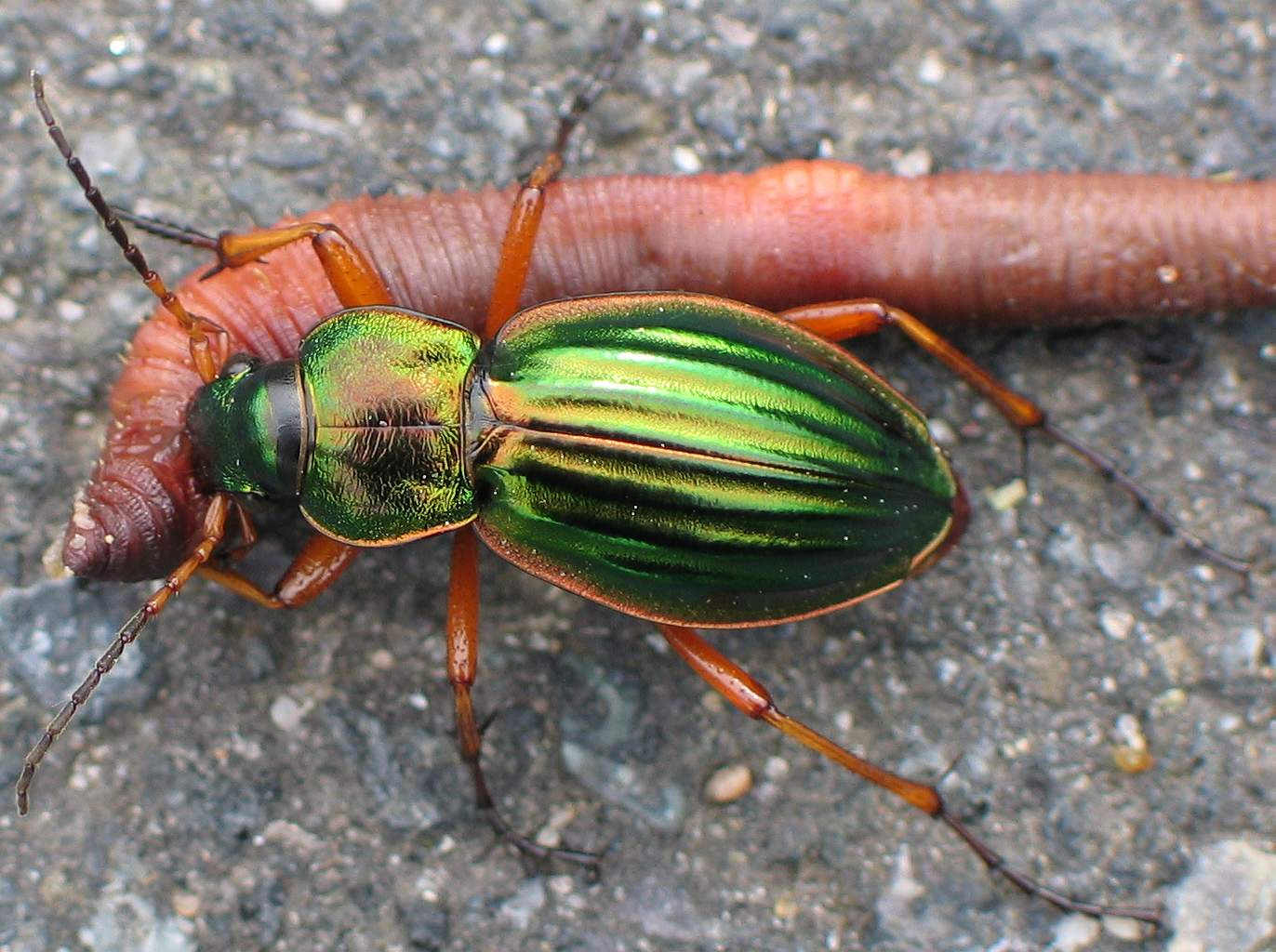 uh43048,1270746694,Carabus auratus with prey
