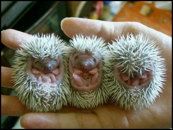 uh43048,1277225815,funny-and-cute-hedgehog-04