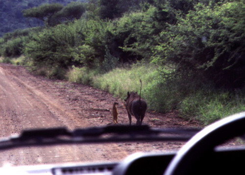 uh43048,1287265259,real life timon and pumba