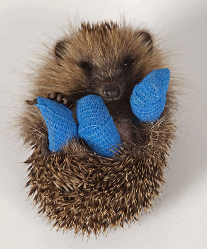 uh43048,1290015778,broken hedgehog cute