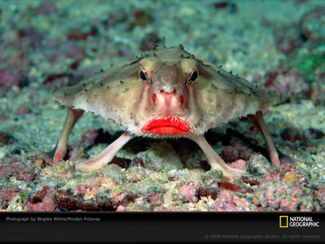 uh43048,1291466562,rosy-lipped-batfish-wilms-1144526-s
