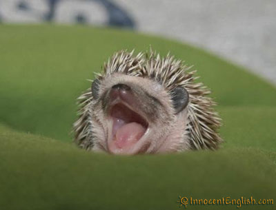 uh43048,1295285618,funny-hedgehog-yawn-picture
