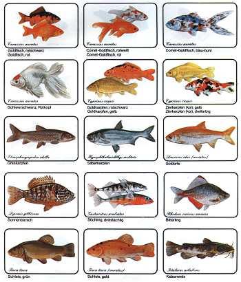 Suche kleine teichfische allmystery for Gartenteichfische arten