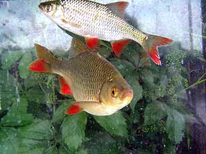 suche kleine teichfische allmystery