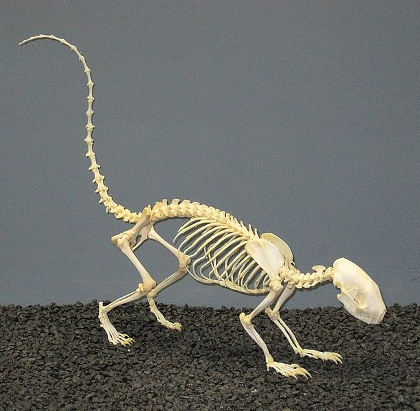 613px-Striped Skunk Skeleton