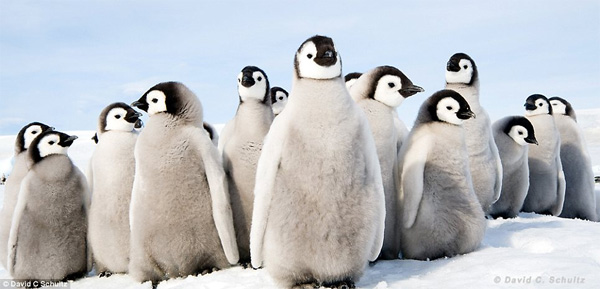 baby penguins 04