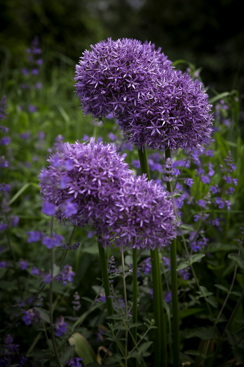 Allium aflatunense Purple Sensation foru