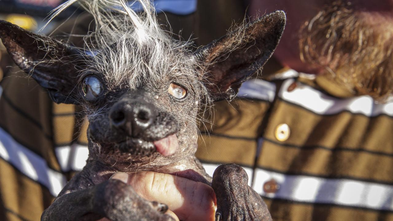 2016-World-s-Ugliest-Dog-Contest-in-Cali