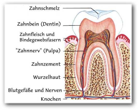 http://www.allmystery.de/i/t060861_Zahnaufbau.jpg