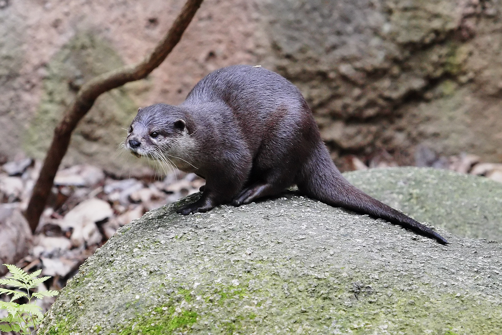 Otter - melbourne zoo