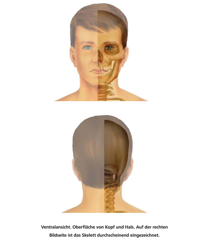Ungewöhnlich Oberflächenanatomie Kopf Zeitgenössisch - Menschliche ...