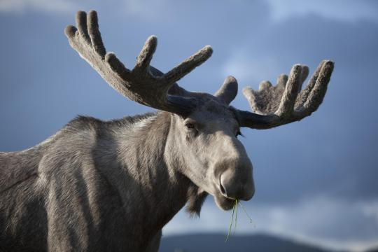 An-elk-bull-at-Christer-Johansson-elkfar