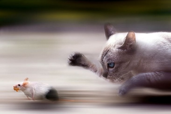funny Race rat  Cat photo