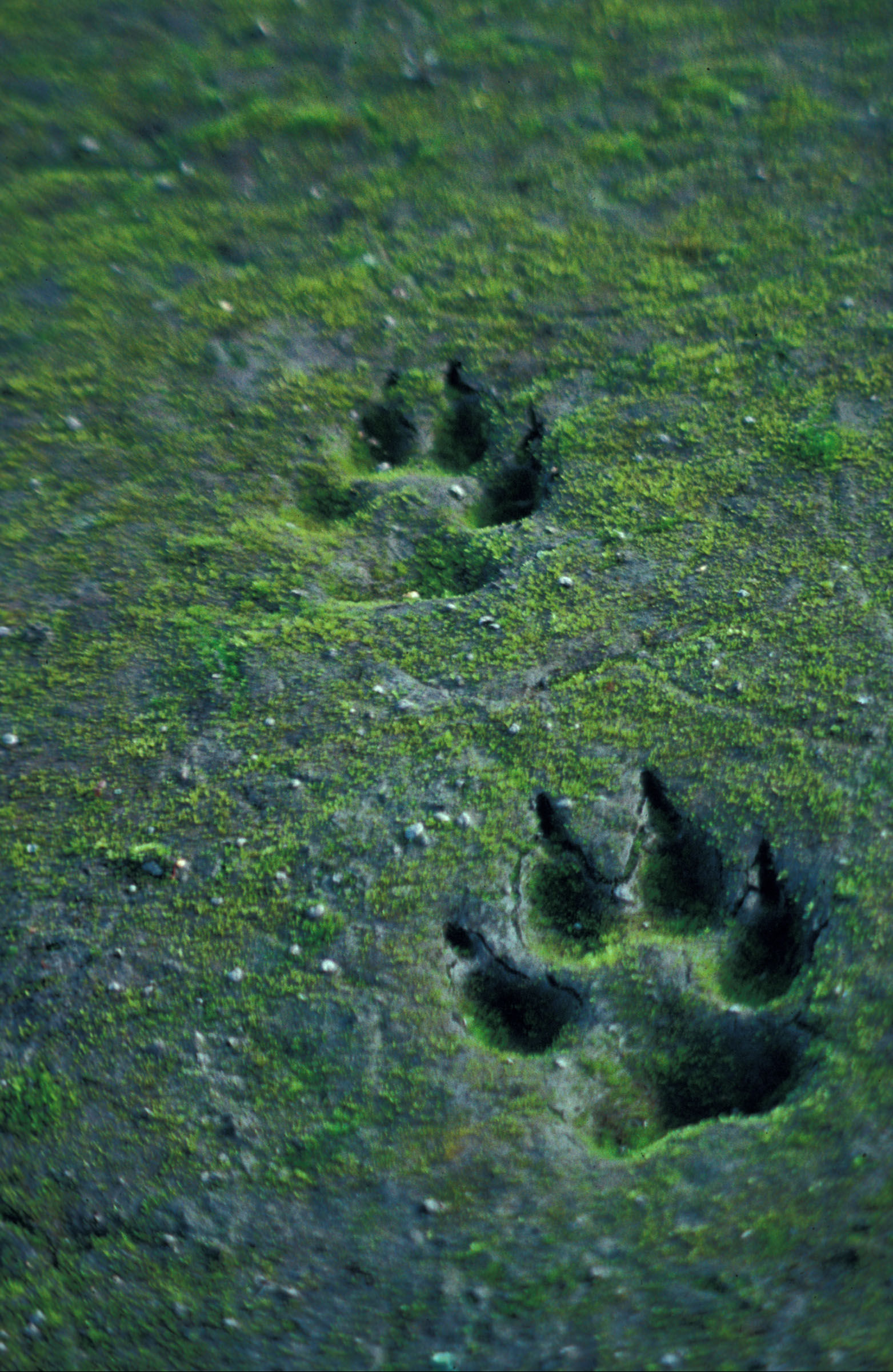Canis lupus tracks in sand