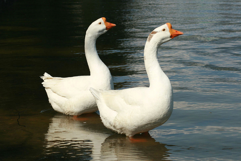 Chinese goose -Kyoto Japan-two-8