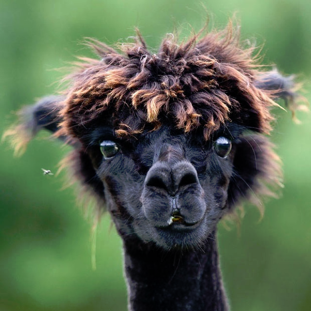 22-amazing-alpaca-hairstyles-10