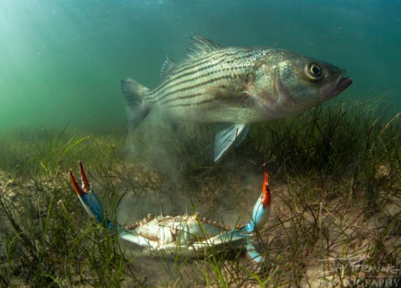 Striped-Bass-and-Blue-Crab-C2A9Jay-Flemi