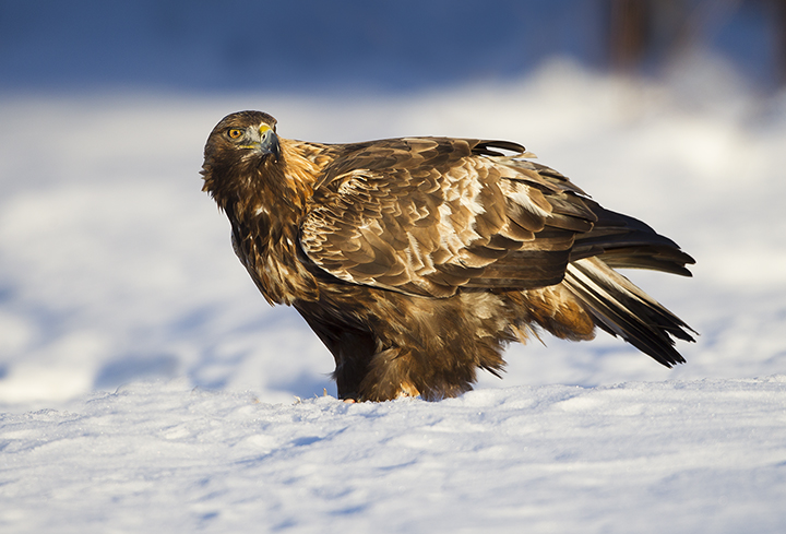 720-1440-cffropped-golden-eagle-male-BN3