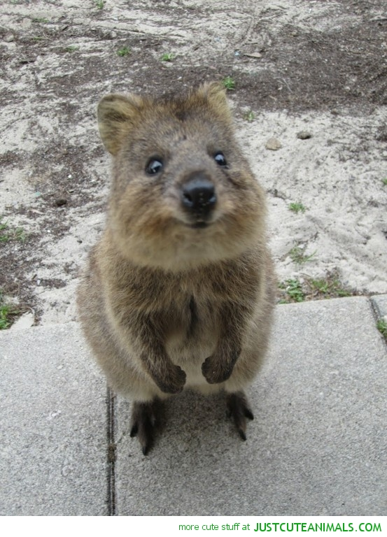 cute-animals-quokka-standing-up-pics