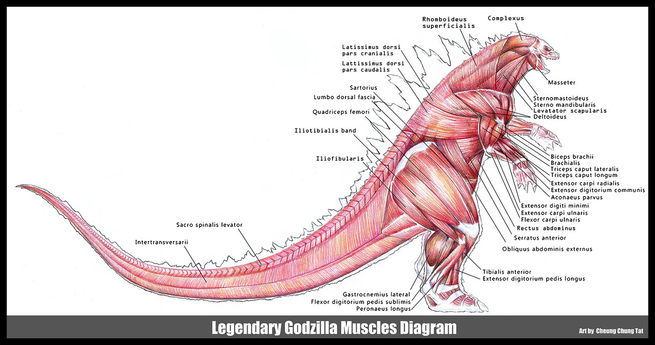 godzilla 2014 muscles diagram by cheungc