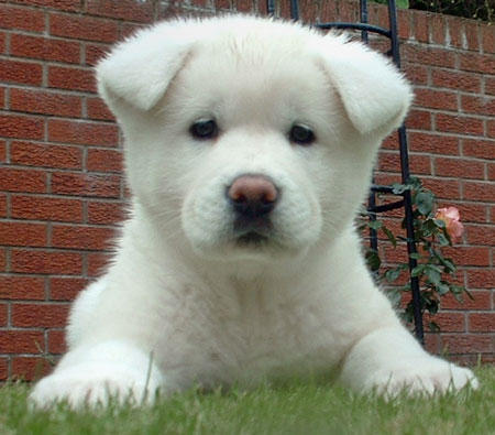 Akita-Puppies-For-Sale