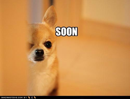 funny-dog-pictures-soon-chihuahua