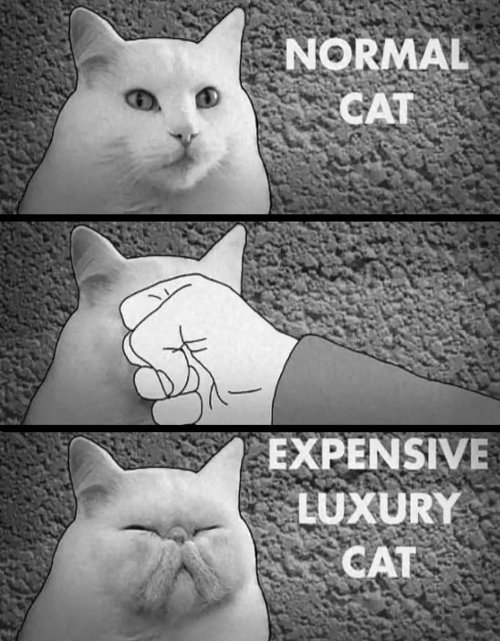 expensive-cat1
