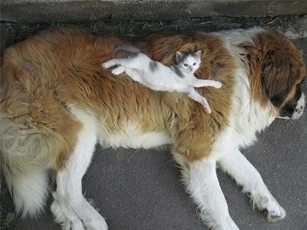 big-dog-small-kitten