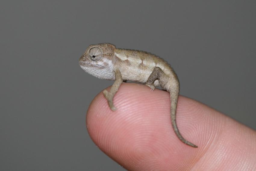Kleine Chamäleonarten