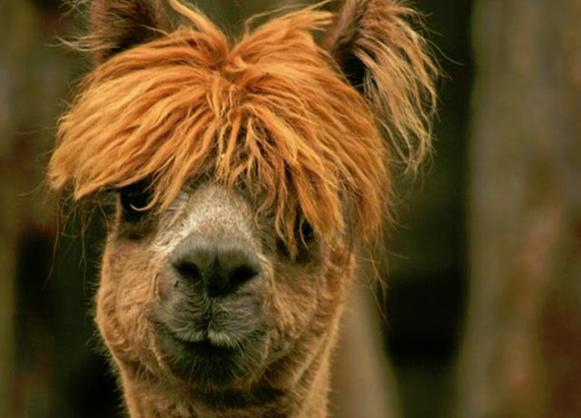 22-amazing-alpaca-hairstyles-15