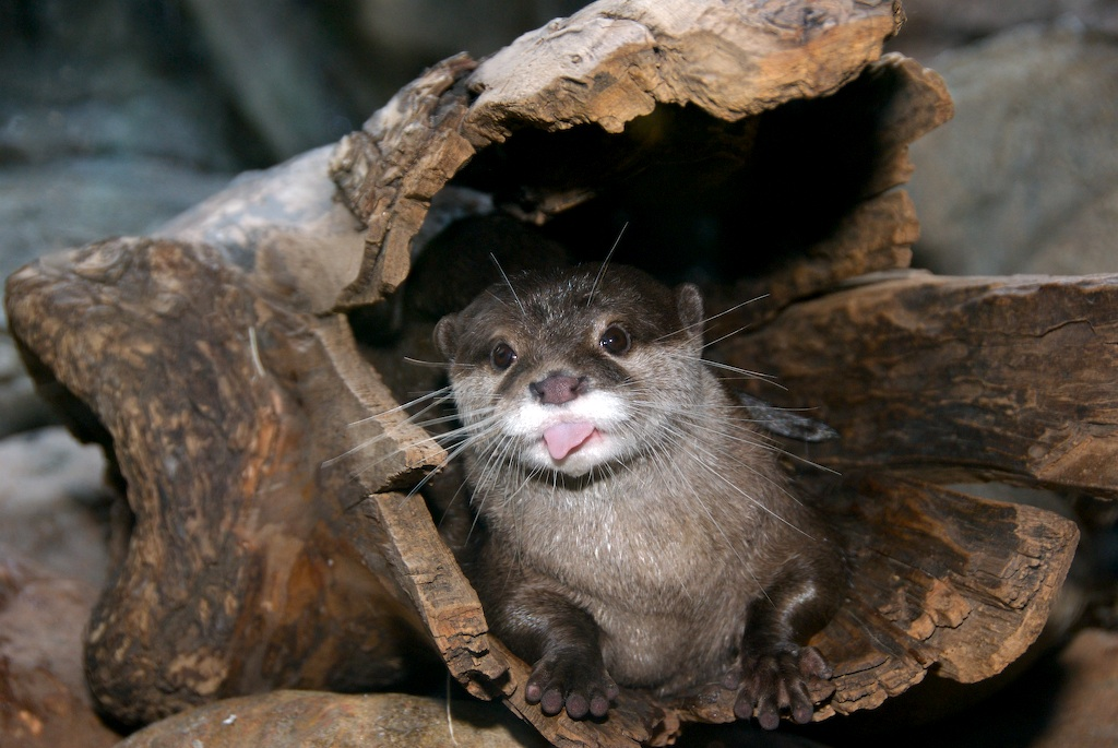 asian-small-clawed-otter-0001