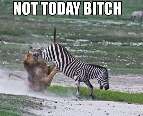 zebra-vs-lion