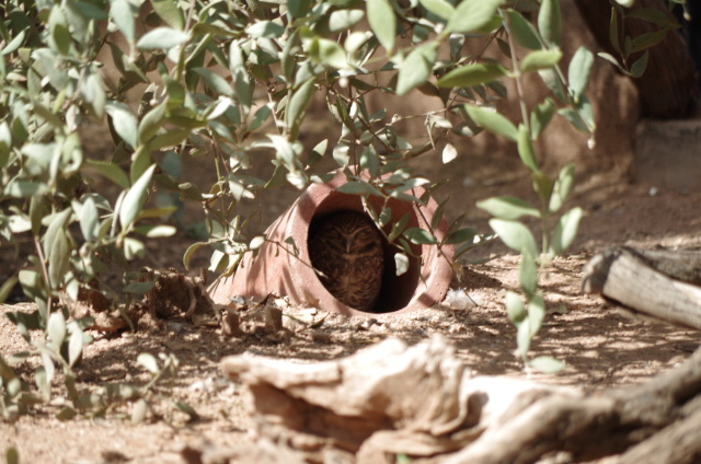 143972d1350679271-burrowing-owl-hiding-i