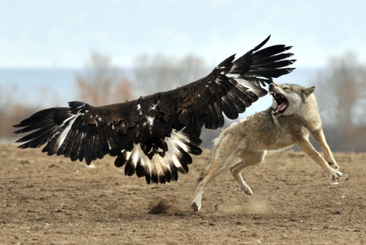 bald-eagle-vs-wolf