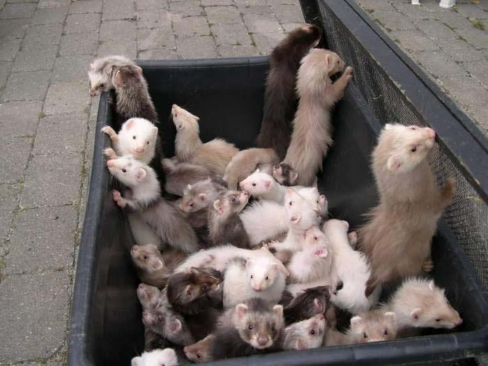 group-of-ferrets-1