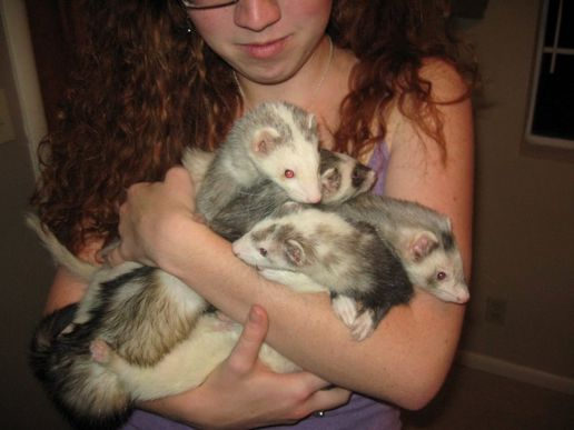 house-full-of-ferrets