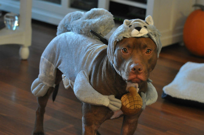 pit-bull-squirrel-costume-dog