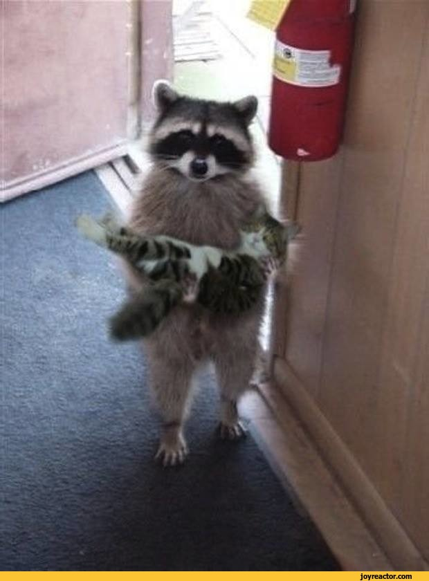 cats-funny-racoon-cute-1020817.jpeg