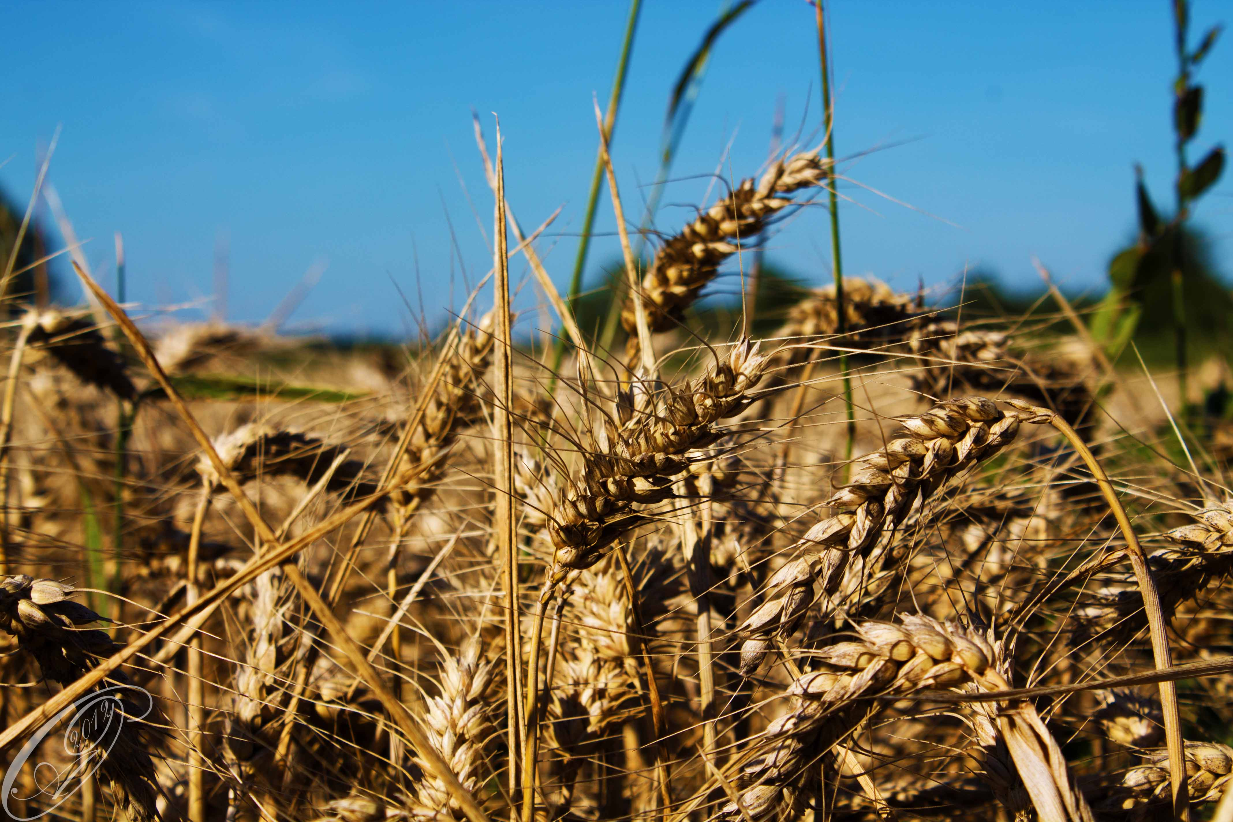 wheat by giglolo-d61uri0